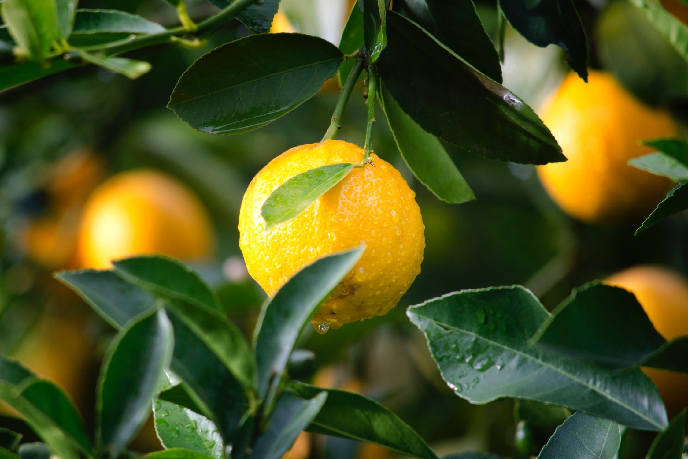Comment Cultiver Un Citronnier En Pot comment cultiver un citronnier, explication et avis - le